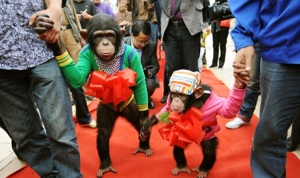 Four-year-old male chimpanzee Yangyang (R) holds the hand of six-year-old female chimpanzee Wan Xing as they get married at a zoo in Hefei, in east China's Anhui province.