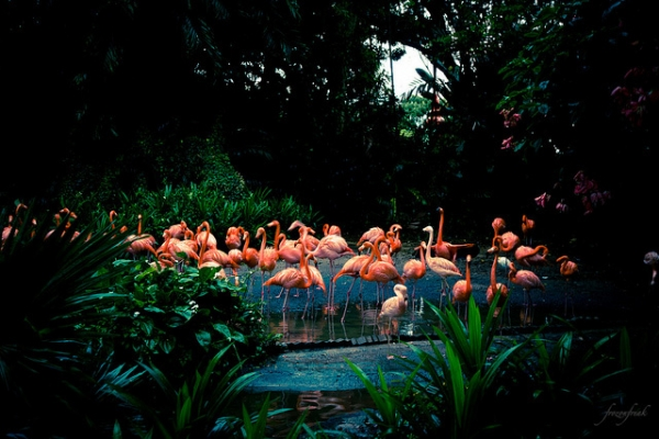 A vibrant flock of flamingos congregate at a park in Singapore on February 12, 2013. (frozonfreak/Flickr)