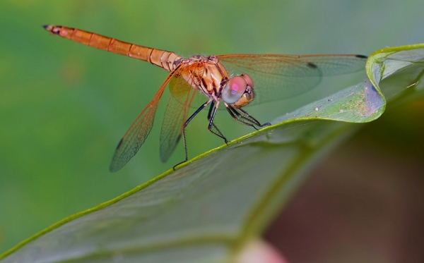 A dragonfly sits on a vibrant green leaf in Prachuap Khiri Khan, Thailand on April 7, 2013. (Troup1/Flickr)