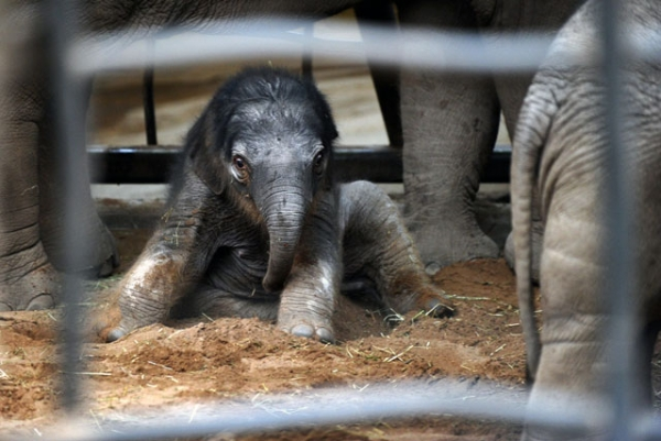 One-day-old baby Jamilah at Chester Zoo, in Chester, England, on January 24, 2011. Because the gestation period for elephants is nearly two years, babies are born already able to stand and walk, though gaining full control of their feet and trunks can take up to nine months. (Paul Ellis/AFP/Getty Images)