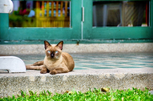 A cat sits poised with her piercing gaze in Hua Hin, Thailand on September 5, 2013. (Beam Borwonputtikun/Flickr)