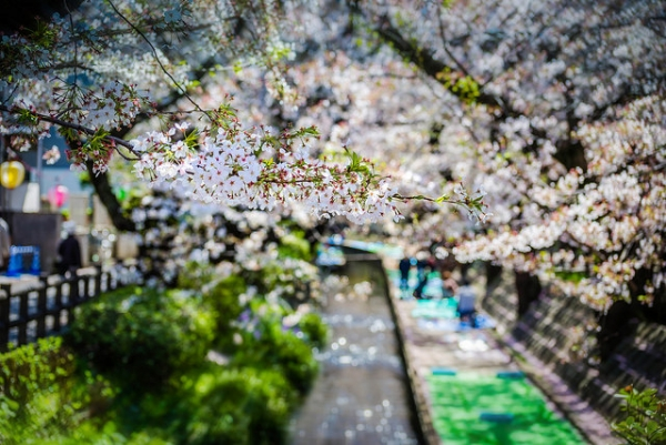 A path is canopied by cherry blossom branches laden with flowers in Tokyo, Japan on April 4, 2014. (Sach.S/Flickr)