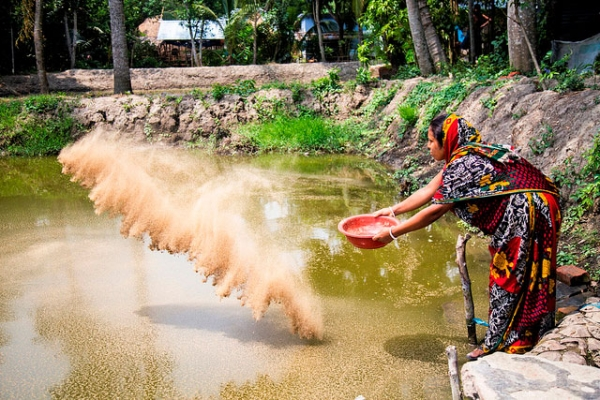 A farmer feeds the fish in her pond in Bagerhat, Bangladesh on May 30, 2015. (Md Masudur Rahaman/Flickr)