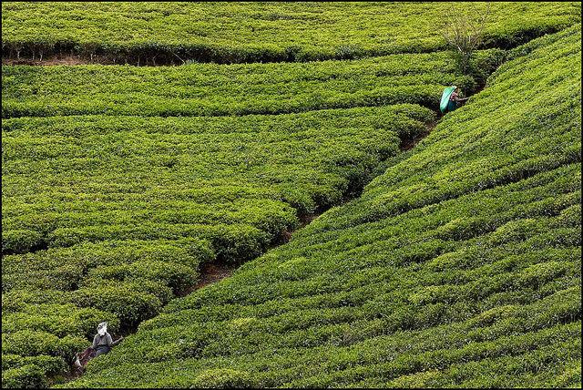 Photo of the Day: Sloping Green Tea Gardens in Sri Lanka | Asia Society