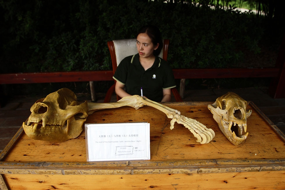 The skull of a giant panda (left) and bear (right), on display in Chengdu, China. (Sean Gallagher)