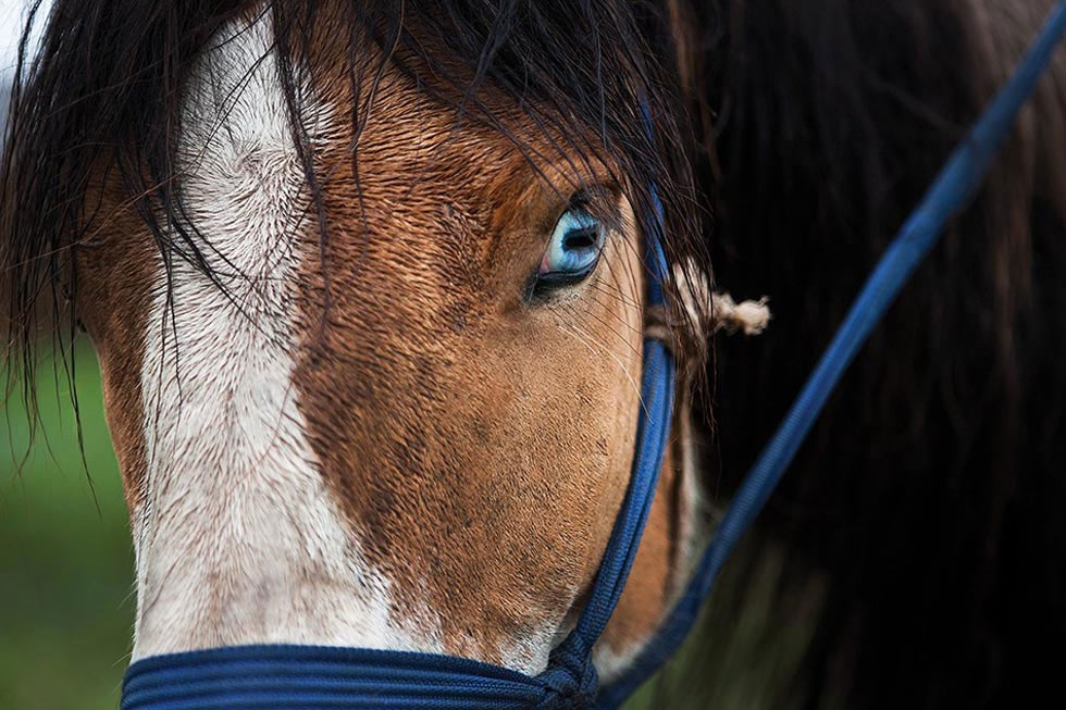 Mongols take great pride in their various breeds of horses; this racehorse has brilliant blue eyes. (Taylor Weidman)