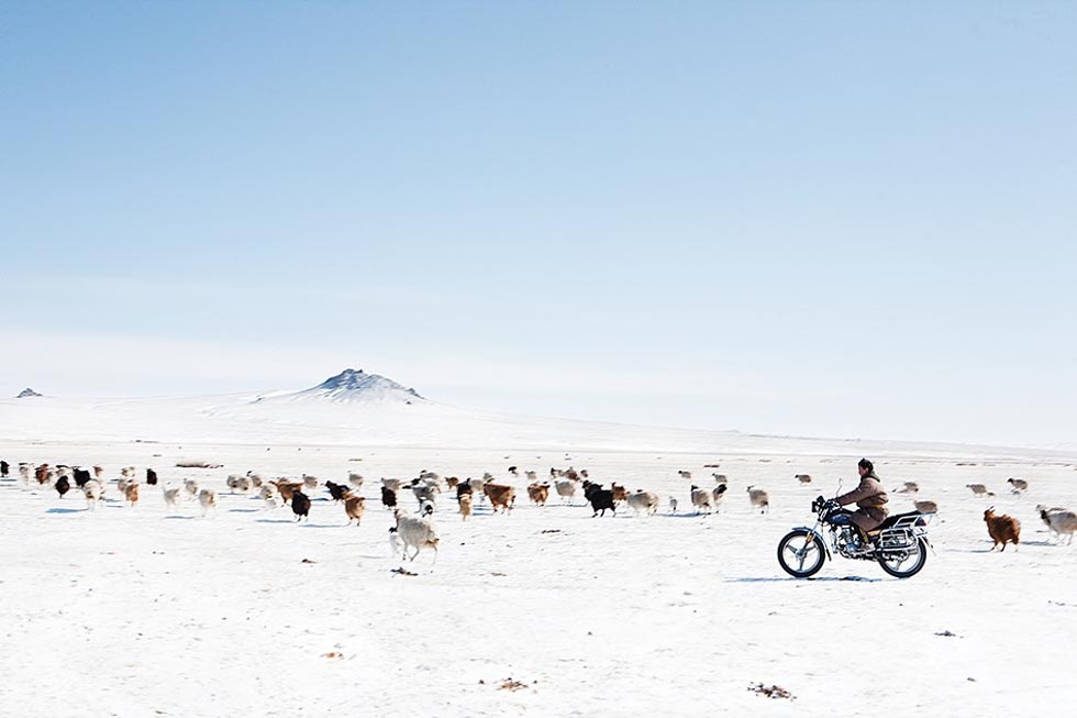 A young nomad herds his animals by motorcycle after an early spring snowstorm. (Taylor Weidman)