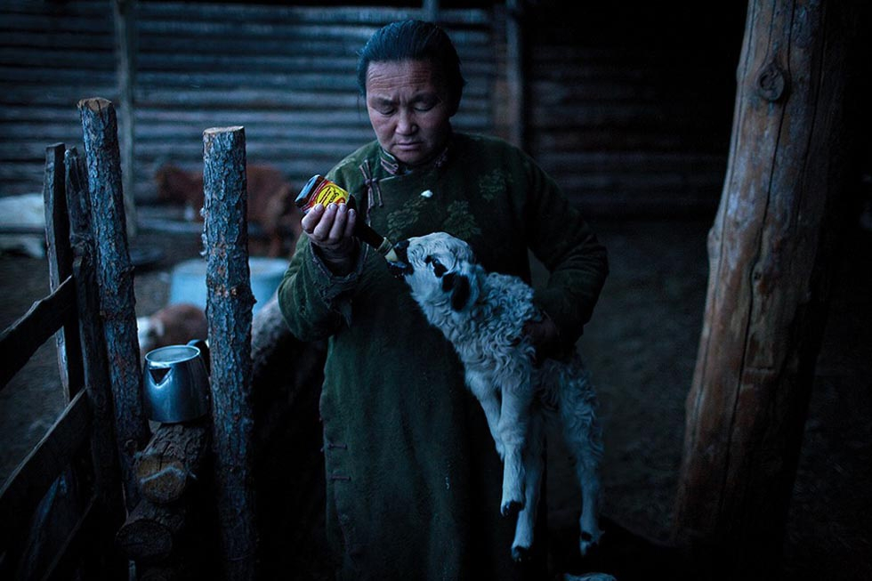 A Mongolian woman feeds milk to a lamb from an old soy sauce bottles. (Taylor Weidman)