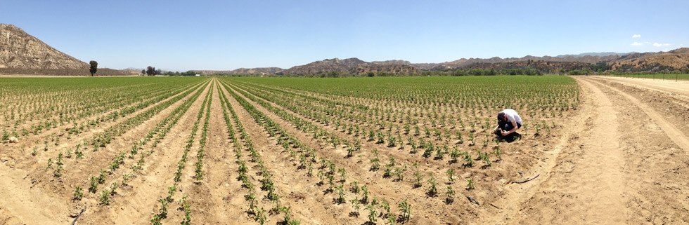 One of the many massive fields in Piru, California, where these jalapeños are grown. Griffin Howard captures footage for his documentary. (Griffin Hammond)