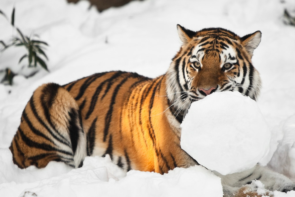A tiger playing with snow at the Philadephia Zoo. (fPat Murphy/Flickr)