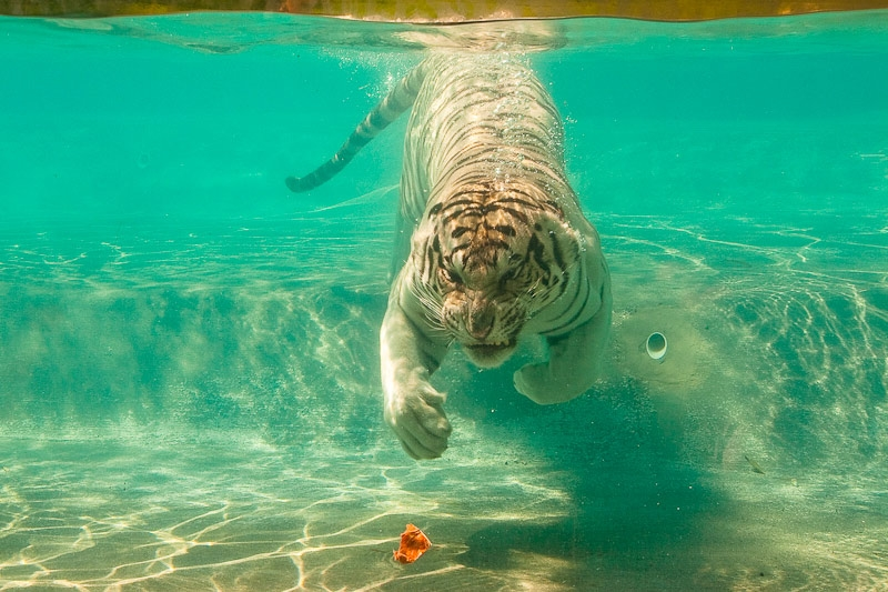 A white tiger swimming after meat. White tigers are a rare pigmentation variant of the Bengal tiger. (Austin Fausto/Flickr)