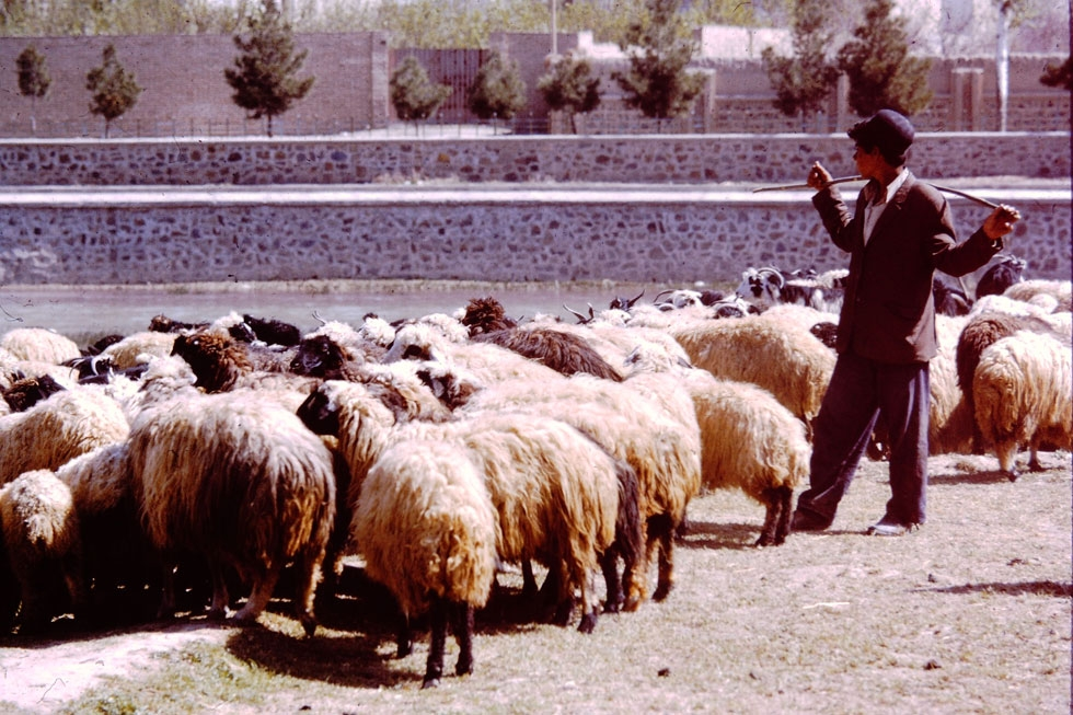 A flock of Persian sheep. Their bulbous tails store fat, making Persian lamb rich in taste and low in fat.