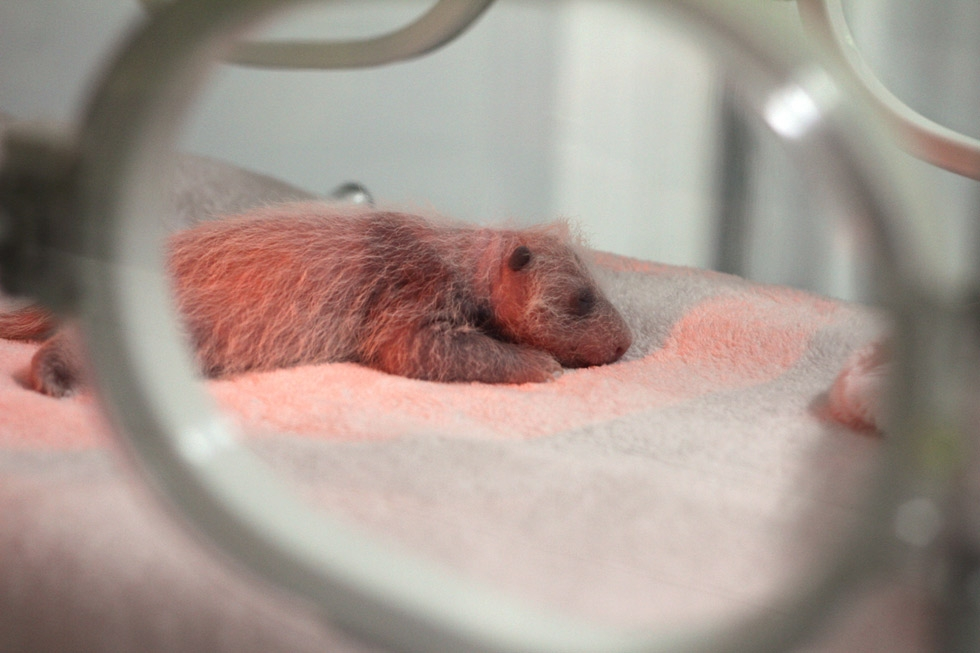 A one-week old giant panda in an incubator at the Giant Panda Breeding Centre in Chengdu, China in 2011. (Sean Gallagher)