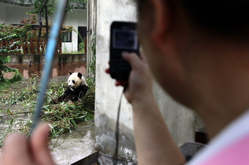 A tourist takes a photograph of a giant panda at the Giant Panda Breeding Centre in Chengdu, China in 2011. (Sean Gallagher)