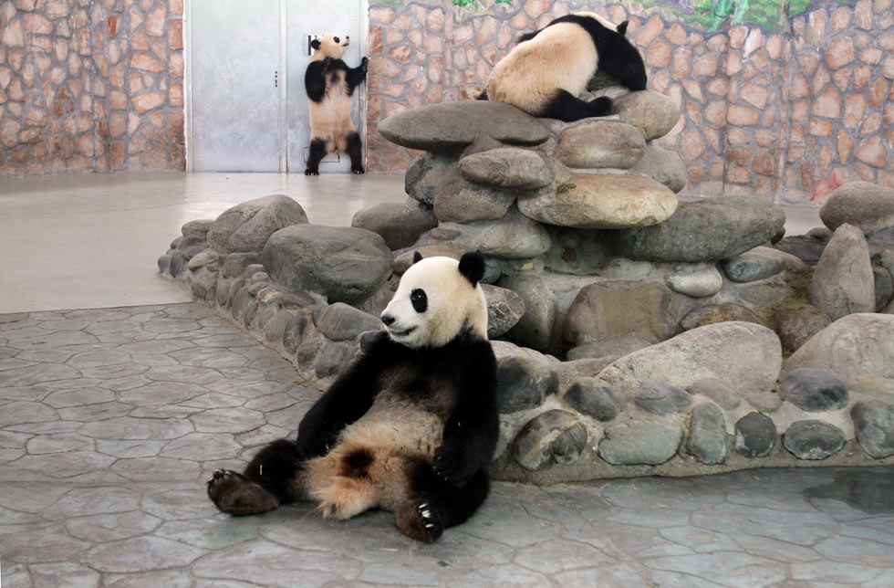 Pandas at the Giant Panda Breeding Centre in Chengdu, China live in climate-controlled enclosures. (Sean Gallagher)