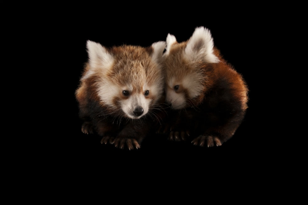Twin three-month-old red pandas (Ailurus fulgens) at the Lincoln Children's Zoo. (Joel Sartore Photography)