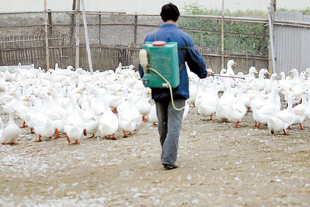 A worker disinfects ducks at a poultry farm in Shanghai's Nanhui District. (quiplash/flickr)