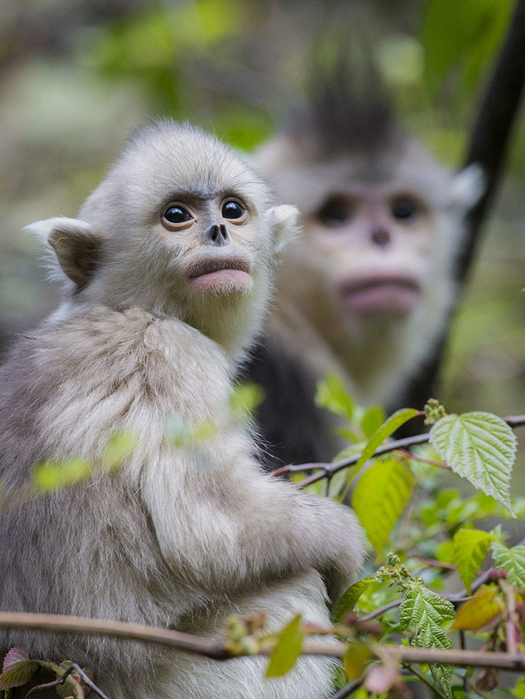 A mother and a yearling snub-nosed monkey. (Jacky Poon)