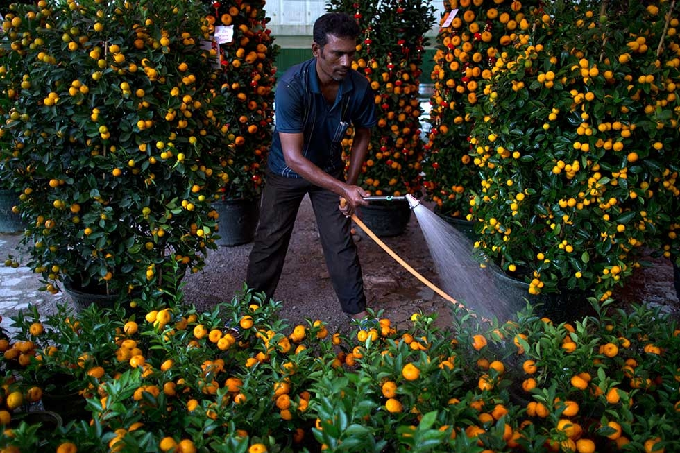 A worker tends to his tangerine trees, a food said to bring wealth and luck, on January 20, 2014 in Kuala Lumpur, Malaysia. (Mohd Rasfan/AFP/Getty Images)