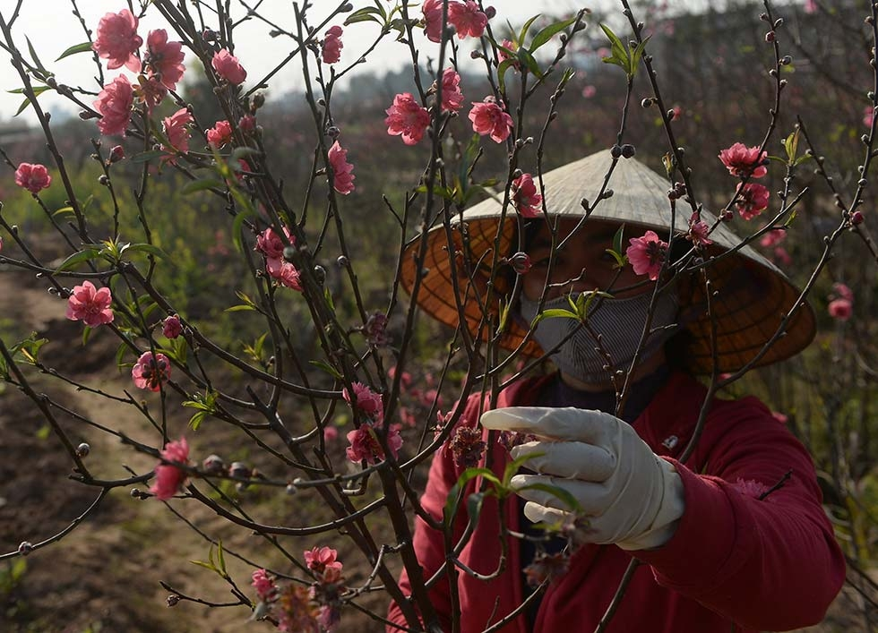 A farmer trims peach blossom branches, which symbolize strong vitality, love, and joy, and are used to decorate homes in Northern Vietnam during Tet, or Vietnamese New Year, on January 22, 2014 in Hanoi, Vietnam. (Hoang Dinh Nam/AFP/Getty Images)
