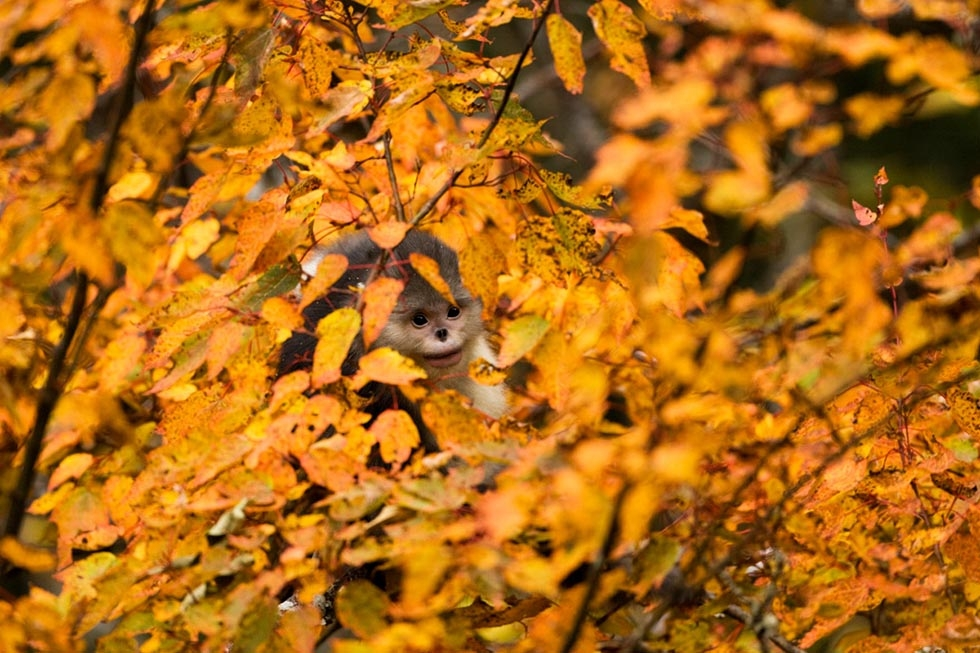 A snub-nosed monkey is concealed by the fall leaves. (Xi Zhinong)