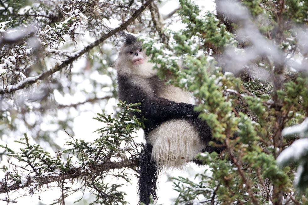 A snub-nosed monkey sits in a tree. (Xi Zhinong)