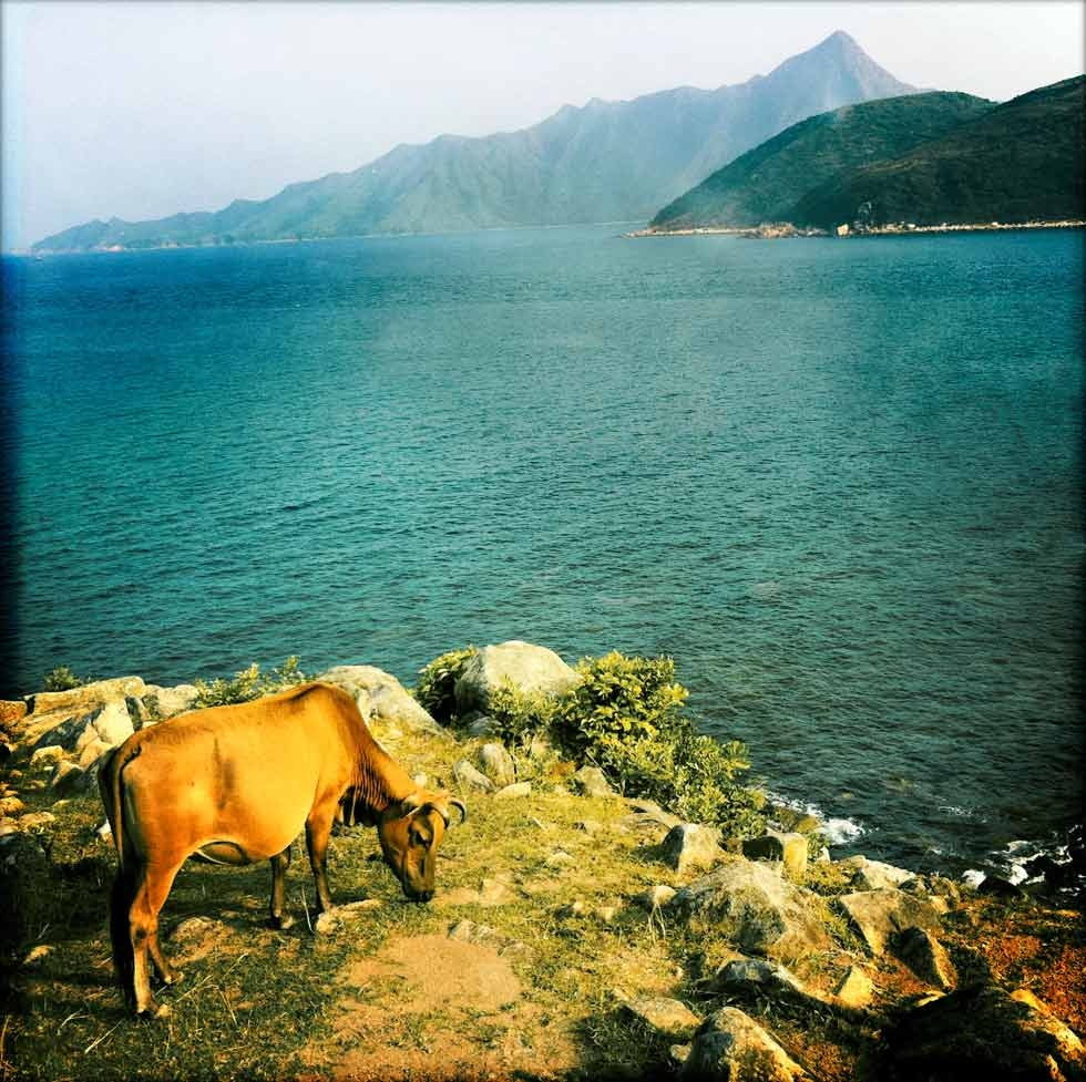 A cow grazes at the harbor's edge. (Palani Mohan)