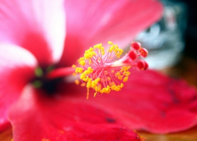 Looking at the anatomy of a hibiscus flower in Tonga on May 5, 2012. (You Never Try, You Never Know/Flickr)