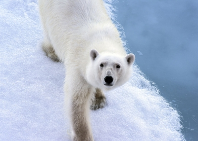 A polar bear looks up at the camera from the ice. (Christopher Michel/Flickr)