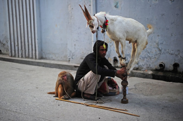 An illegal street performer coaxes a goat to perform for children in the Sadiq Abad neighbourhood, Rawalpindi, Punjab province Pakistan on November 1, 2010.
