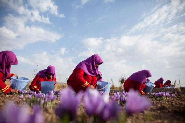 Afghan workers pluck saffron flowers on a farm on November 09, 2010 in Herat, Afghanistan.