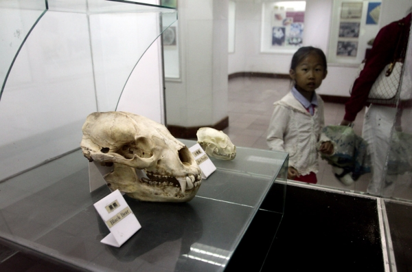 A child walks past a display containing the skull of a black bear and red panda, in Chengdu, China in 2011. (Sean Gallagher)