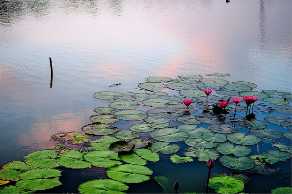Waterlillies float on the banks as the sun sets in Chaiyaphum, Thailand on September 22, 2012. (norsez/Flickr)