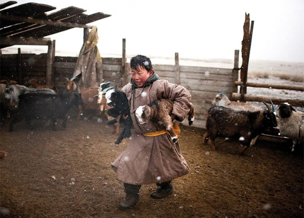 A young herder carries baby goats to a small, heated ger (yurt) during a snowstorm to keep them warm and healthy. (Taylor Weidman)