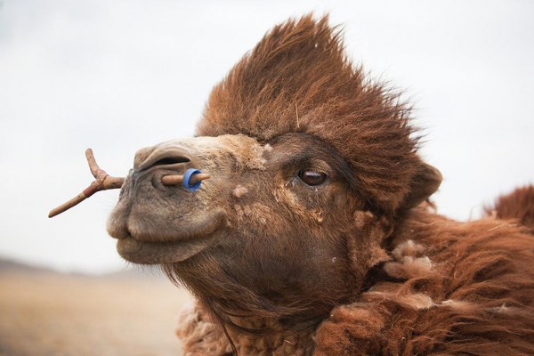 Camels are highly valued for all they offer in transportation, meat, milk, and wool. (Taylor Weidman)