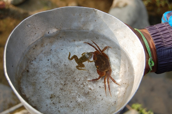 A crab found in Sikti River in Yangshila VDC. Reviving freshwater aquatic diversity is one of the goals of the vertical university. (Rajeev Goyal)