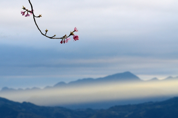 A branch full of blooms set against the backdrop of mountains in Taiwan on February 14, 2013. (MaxChu/Flickr)
