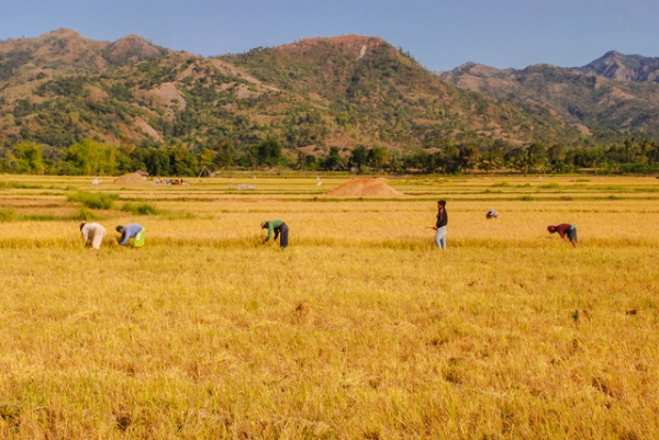 Farmers work in a field full of golden crops in San Joaquin, Philippines on April 1, 2013. (Eduardo S. Seastres)