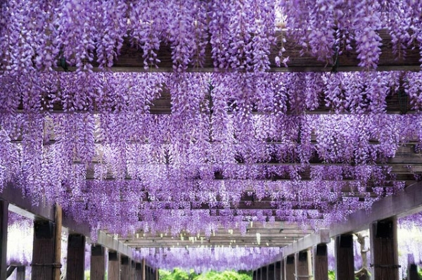 Lush wisteria blooms hang down in precision in Kyoto Prefecture, Japan on April 29, 2013. (GENuine1986/Flickr)