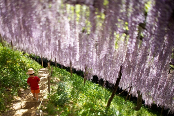 A young boy walks in a garden blooming with purple wisteria on May 12, 2013. (kobaken (こばけん)/Flickr)