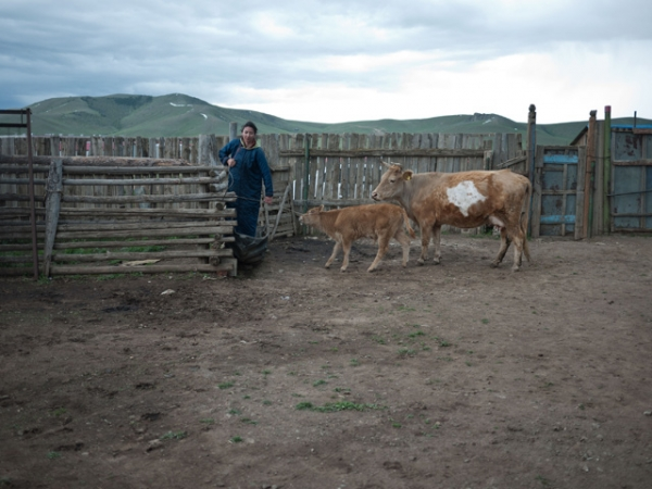 A village girl takes her cows out for their evening milking in Bayanchandmani, Mongolia on June 3, 2013. (mfcorwin/Flickr)