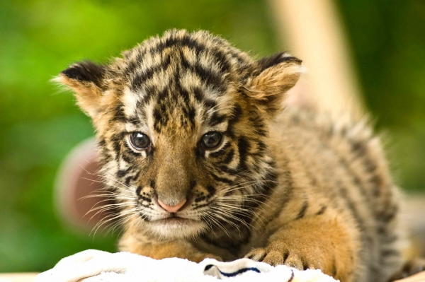 A tiger cub. (zeekwong Chan/Flickr)