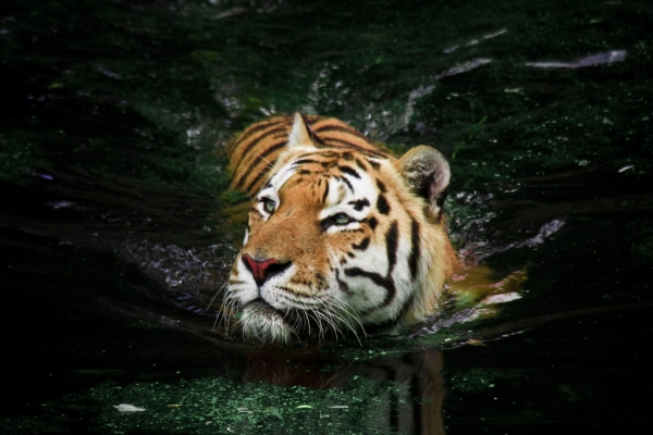 A tiger swimming at the Copenhagen Zoo. (Sune Rievers/Flickr)