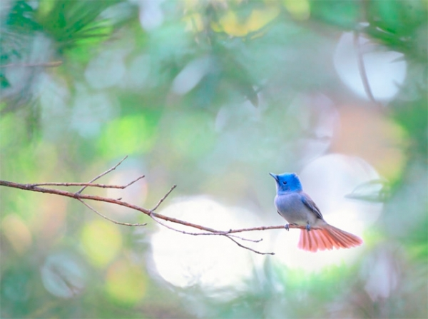A Black-naped Blue Flycatcher sits amongst the treetops at Taipei Botanical Garden in Taiwan on January 30, 2013. (John&Fish/Flickr)