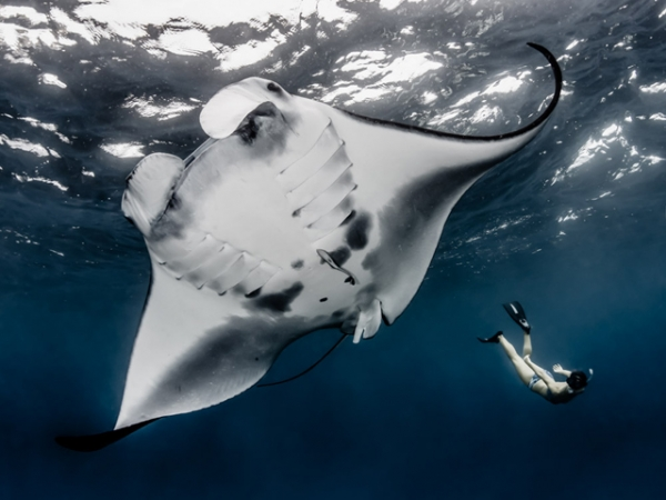 Indonesia, recognizing mantas as iconic marine creatures with incredible tourism potential value, just declared the world's biggest manta sanctuary at 2.3 million sq. miles. (Shawn Heinrichs for WildAid/Conservation International)