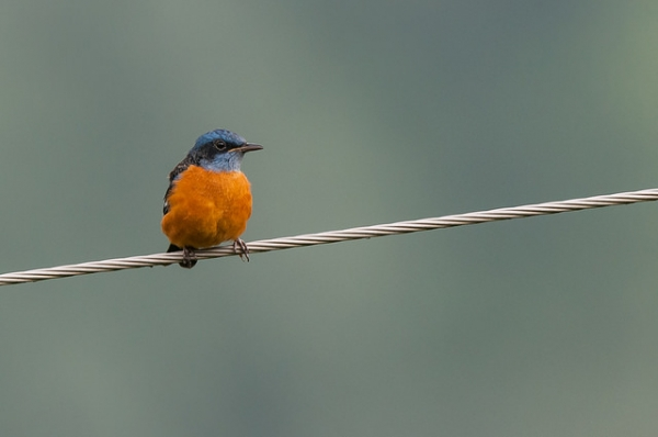 A blue-capped rock thrush perched on a wire in Pangot, India on September 17, 2014. (Kishore Bhargava/Flickr)