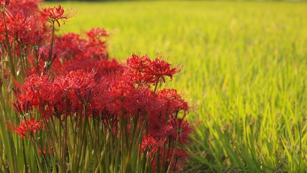 Red spider lilies line the edge of a rice field in Japan on September 23, 2014. (coniferconifer/Flickr)