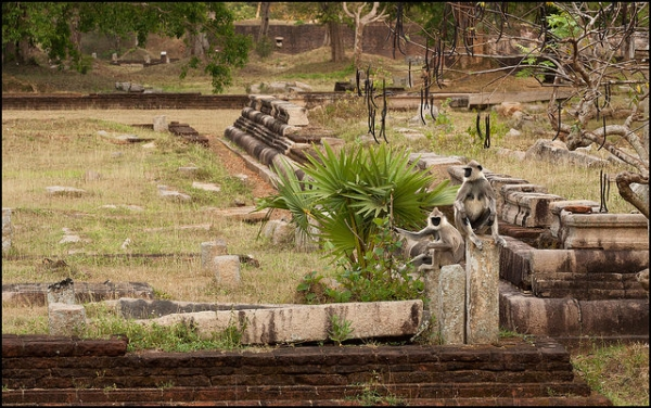Two grey langurs sit together at an old ruin site in Anuradhapura, Sri Lanka on March 22, 2015. (pasosypedales.blogspot.com/Flickr)
