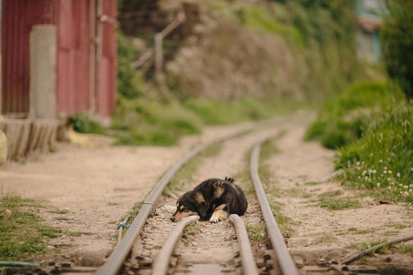 A sleepy dog is caught lying on train tracks in India on May 27, 2015. (alcan_/Flickr)