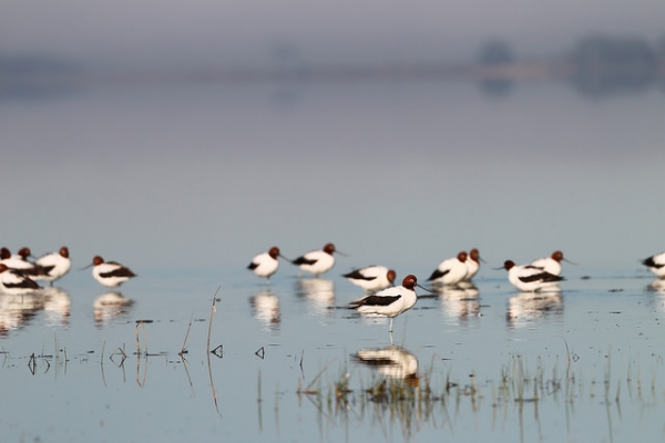 A red-necked avocet rests a distance away from it's flock in the water in Victoria, Australia on September 27, 2015. (Ed Dunens/Flickr)